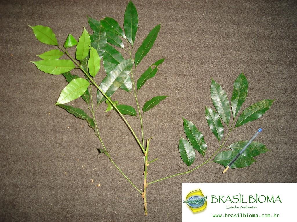 Burseraceae - Protium wildgrenii