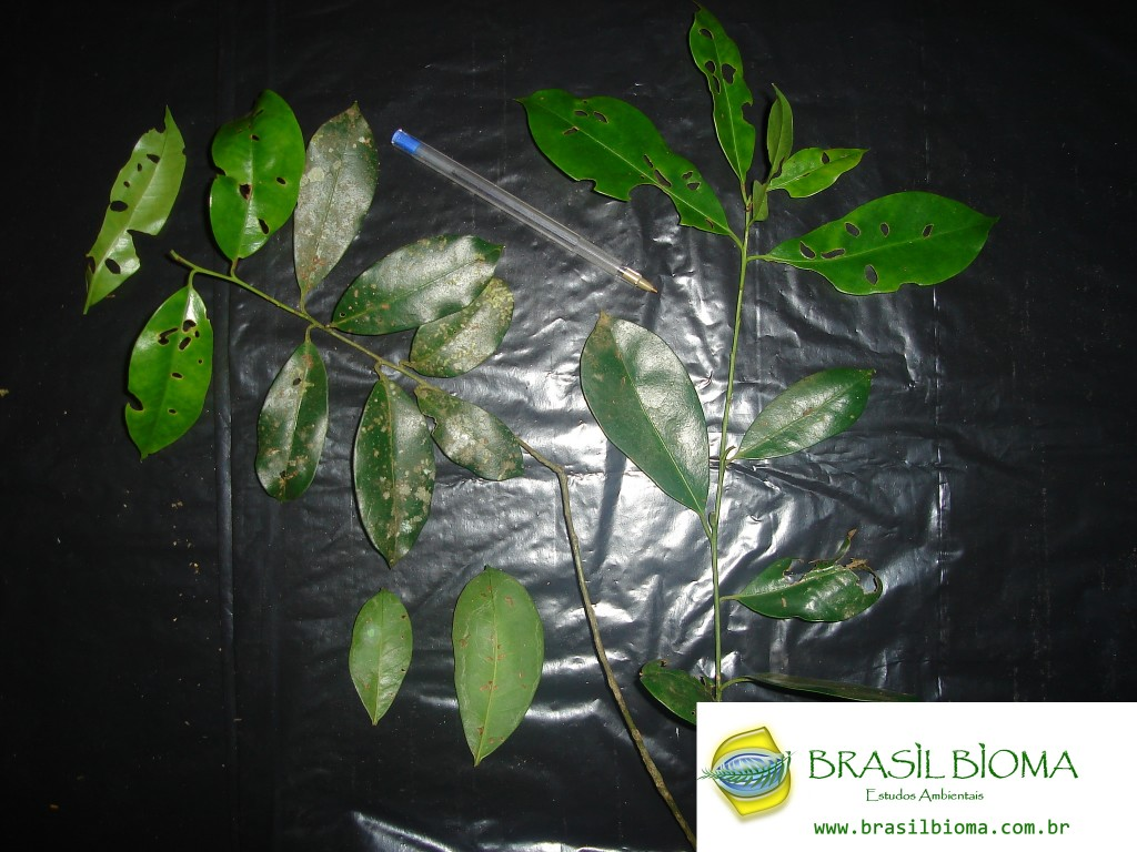 Cannelaceae- Capsicodendron dinizii