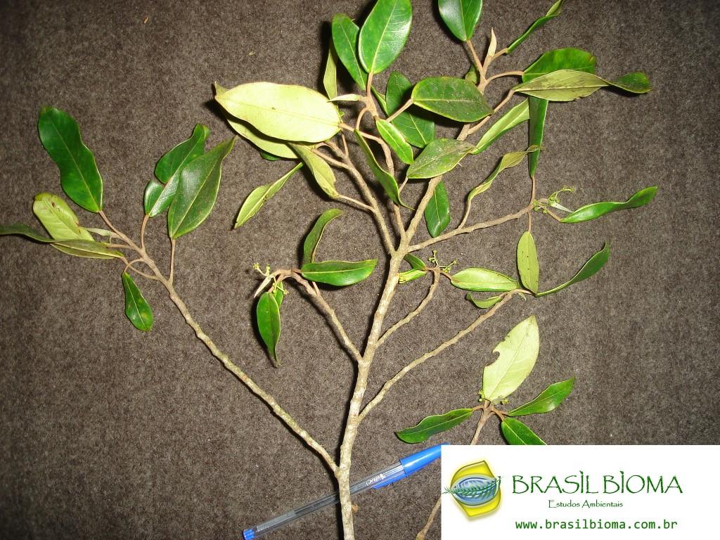 Cecropiaceae (Urticaceae)- Coussapoa microcarpa