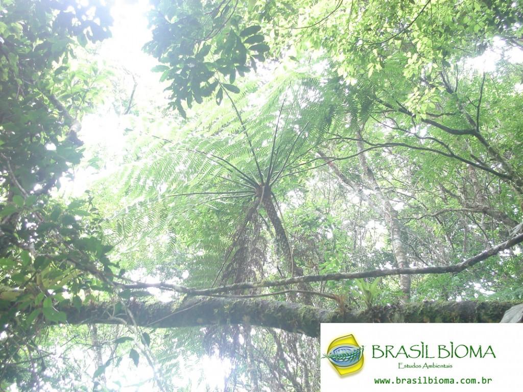 Cyatheaceae- Cyathea delgadii
