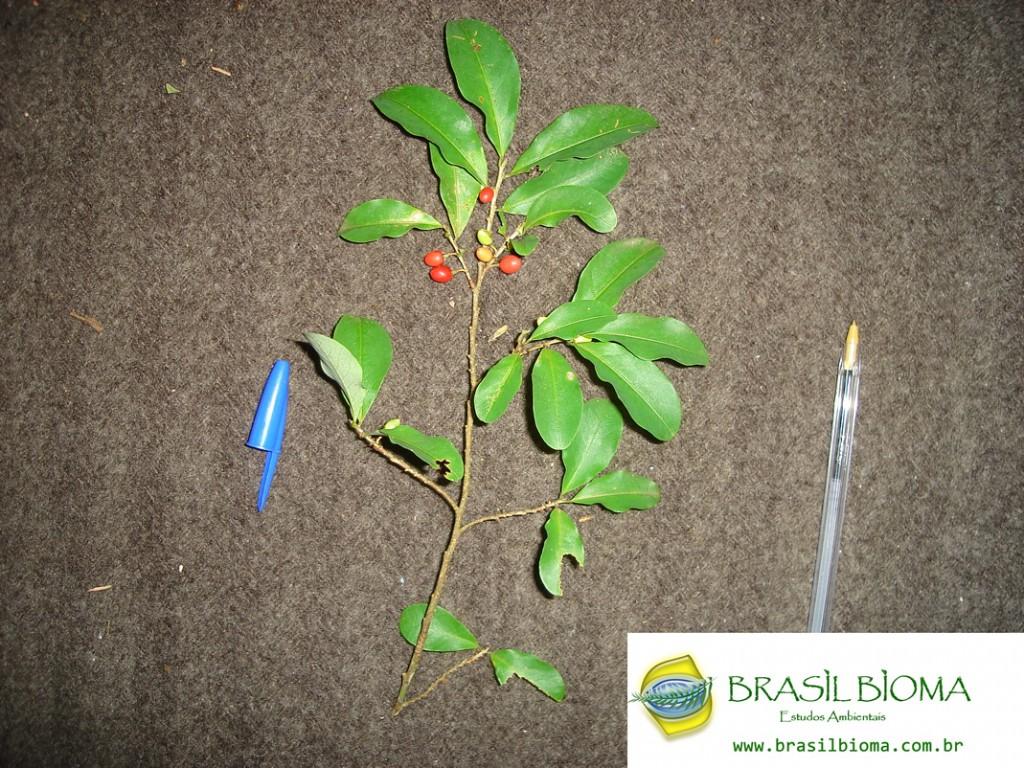 Erythroxylaceae- Erythroxylum argentinum1