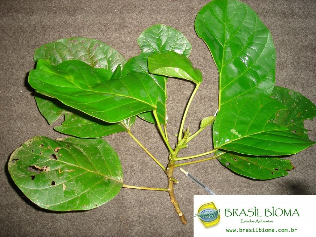 Euphorbiaceae- Hieronyma alchorneoides
