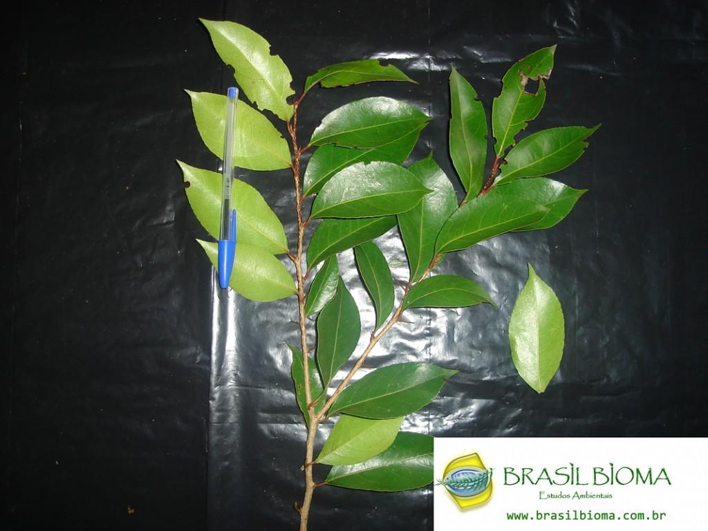 Flacourtiaceae (Salicaceae)- Xylosma pseudosalszmanii