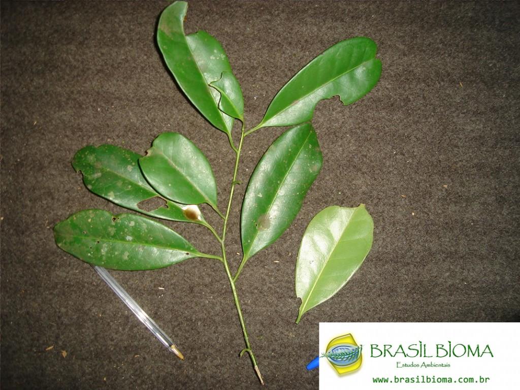 Icacinaceae (Cardiopteridaceae) - Citronela paniculata