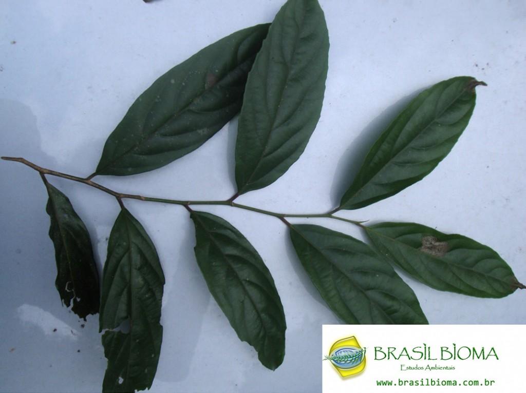 Lacistemataceae - Lacistema hasslerianum