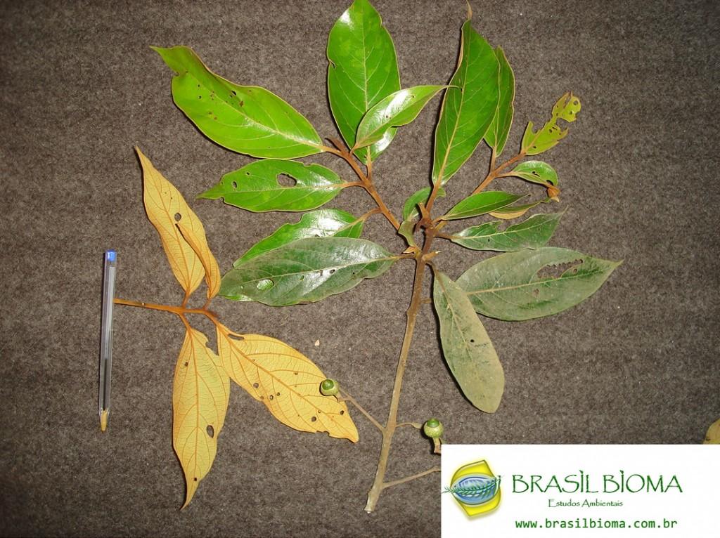 Lauraceae- Nectandra oppositifolia