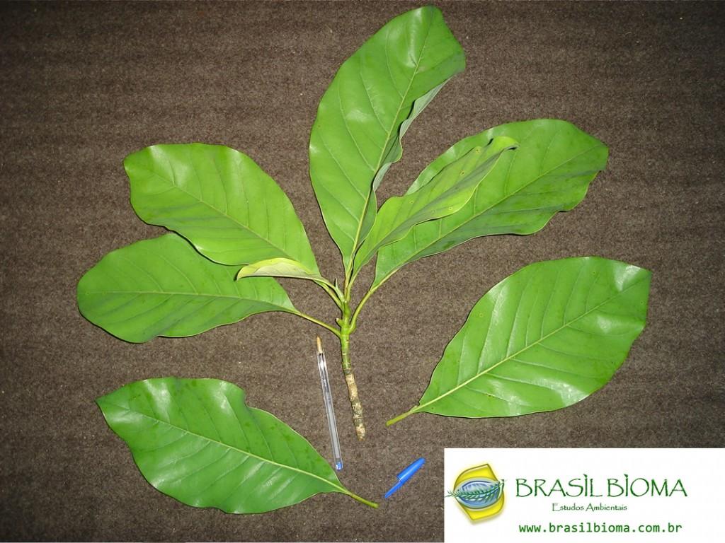 Magnoliaceae- Talauma (Magnolia) ovata