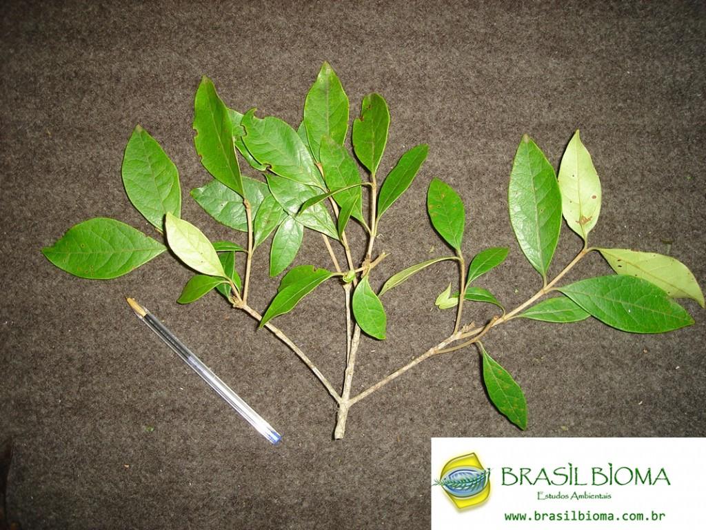 Malpighiaceae- Byrsonima ligustrifolia
