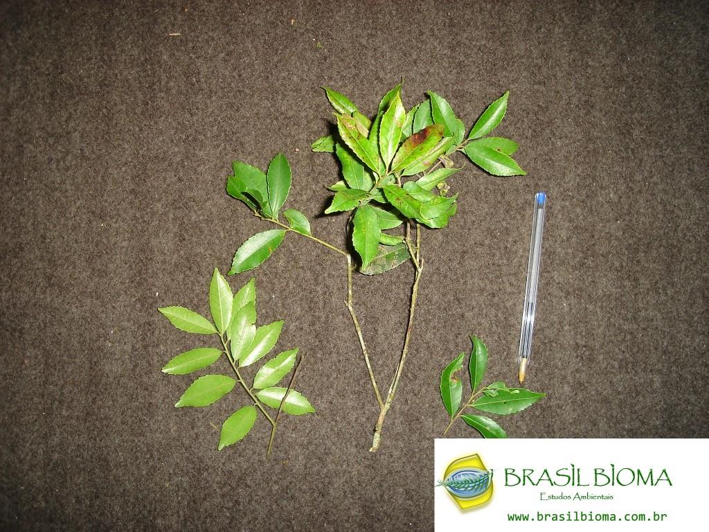 Aquifoliaceae - Ilex amara