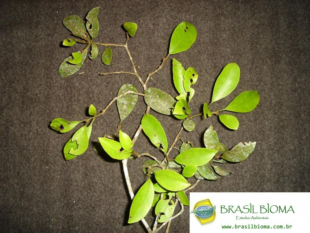 Nyctaginaceae- Guapira opposita