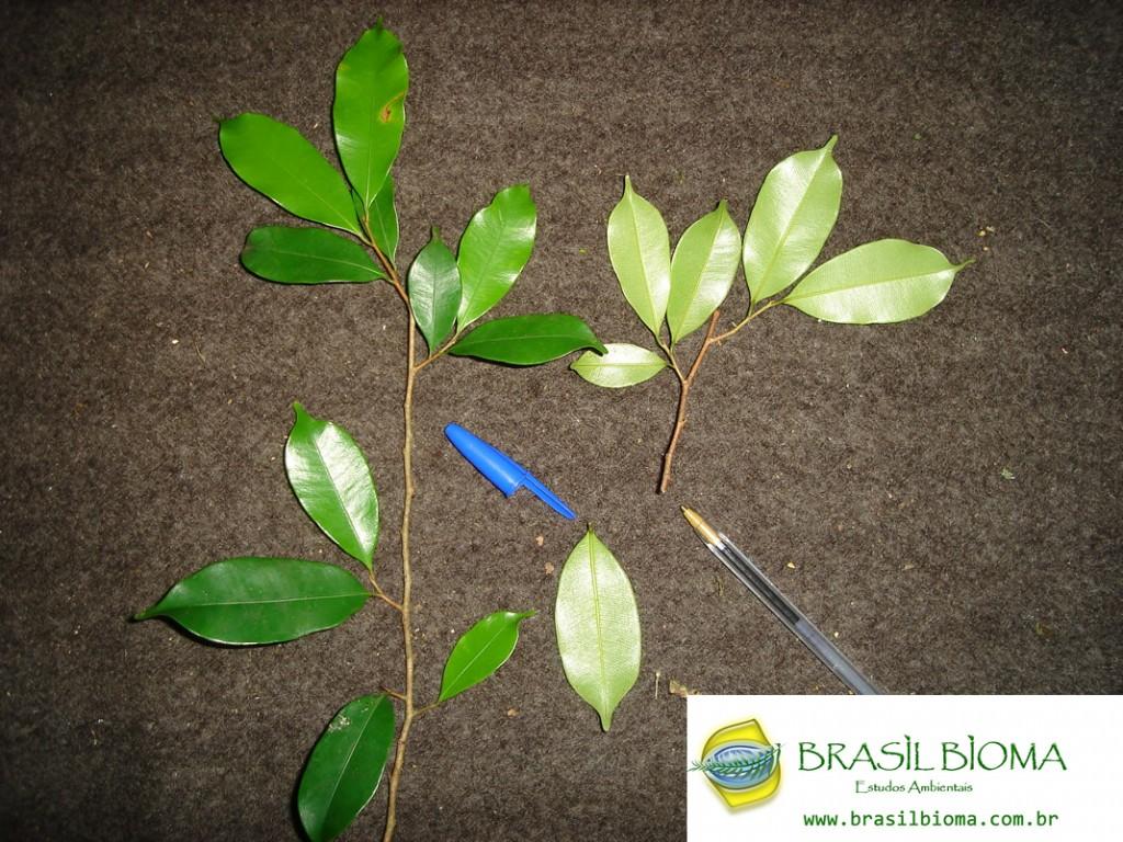 Sapotaceae- Micropholis crassipedicellata