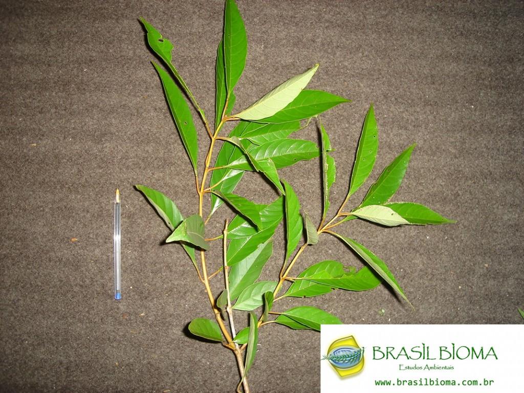 Verbenaceae (Lamiaceae)- Citharexylum mirianthum