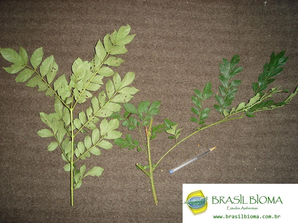 Bignoniaceae - Jacaranda puberula