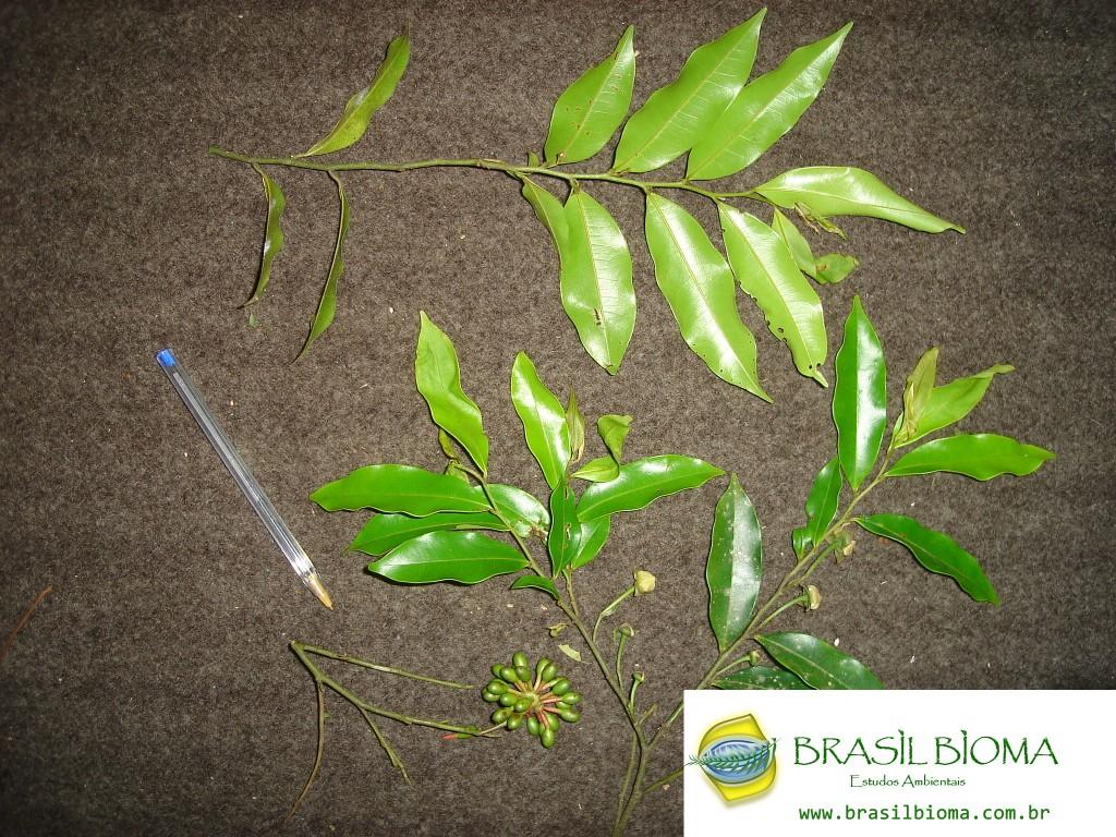Annonaceae - Guatteria australis