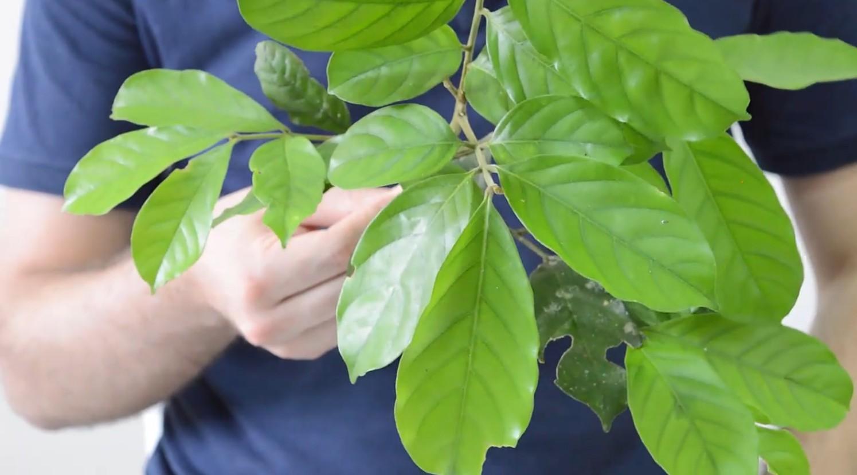 Folhas Compostas Pinadas e Bipinadas